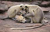Hanuman Langur grooming a dog adopted within the clan