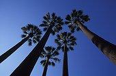 Palmier Washingtonia en contre-plongée