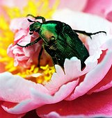 Flower chafer gathering nectar from a peony ; Won an award at the Festival de Montier-en-Der in 2002