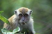 Portrait d'un Macaque Crabier avec une brindille Malaisie