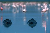 Black Herons canopy fishing Lake Baringo Kenya