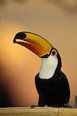 Toucan Toco tenant une graine au bout de son bec