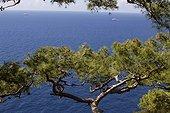 Pines on the sea Capri Italy