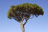 Italian Stone Pine Capri Italy