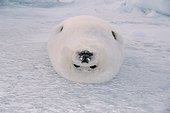 Harp seal lying on its back Magdalen Islands