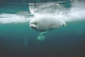 Young harp seal swimming underwater ; Location: Magdalen Islands