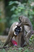 Drill Femelle épouillant un mâle ; Le dimorphisme sexuel est très marqué chez cette espèce. Sanctuaires des Drills, Association Pandrillus, Nigeria.