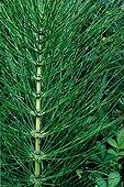 Détail des tiges stériles de Prêle géante Espagne ; Espèce utilisée en médecine populaire comme plante médicinale (employée comme diurétique, hémostatique et reminéralisant). Plante que renferme silice organique en grande quantité. Plante autrefois utilisée pour nettoyer la vaisselle