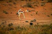 Springbok faisant un bond dans le parc national du Kalahari