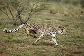 Guépard en train de courir Namibie