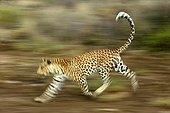 Léopard en train de courir Namibie