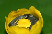 Young grass snake curled up in a water lily