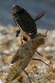 Dytique attaquant une larve de Cordulie bronzée France ; Zone : près d'Orléans