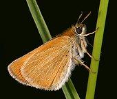 Imago d'Hespérie du Dactyle mâle sur une tige Valmorel