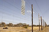 Cadavre de Gnou entre deux clôtures Botswana ; Ces barrières séparent le bétail doméstique de la faune sauvage.