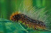 Caterpillar of Garden Tiger on clover leaves