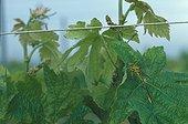 Gomphe joli au repos sur une feuille de vigne ; Au lever du jour, dans une vigne en bordure de bois et proche d'une mare