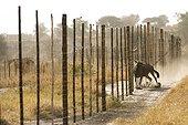 Gnou se jetant contre une clôture Botswana ; Ces barrières séparent le bétail domestique de la faune sauvage
