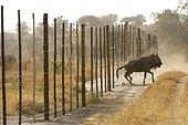 Gnou ayant percuté une clôture Botswana ; Ces barrières séparent le bétail domestique de la faune sauvage