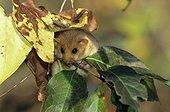 Muscardin caché dans les feuilles d'un arbre ; Mammifère protégé sur le territoire français (annexe 1), inscrit à l'annexe 3 de la Convention de Berne et à l'annexe 4 de la directive habitats-faune-flore
