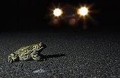 Crapaud des joncs sur une route nationale pendant la nuit ; En période de reproduction. Espèce protégée entre autre par la directive habitats-faune-flore et la convention de Berne