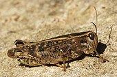 Locust Provence