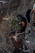 Corail de feu ramifié et Gorgone éventail Mer rouge