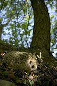 Hérisson adulte en sous-bois Canton de Vaud Suisse ; Mammifère protégé : annexe 1<br>Convention de Berne: annexe 3<br><br>Surtout actif la nuit et au crépuscule, il peut être vu de jour en automne. <br>En France, on le trouve partout y compris en Corse. Il manque sur les îles d'Ouessant et d'Yeu. Il habite les forêts sèches, riches en sous-bois (surtout celles de feuillus), les buissons, les lisières, les haies, les bocages, les jardins, les parcs, les prairies.