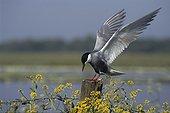 Guifette moustac s'étirant les ailes sur un piquet ; Lac de Grand-Lieu. Oiseaux protégés: article 5. Convention de Berne: annexe 2. Convention de Bonn: accord AEWA. Directive Oiseaux: annexe I