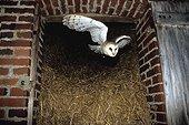 Effraie des clochers sortant d'une grange à paille ; Pendant la période nuptiale