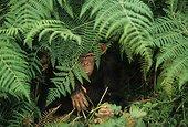 Jeune orphelin Chimpanzé caché sous les fougères Gabon ; Sanctuaire de Bakoumba