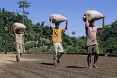Hommes transportant des sacs de café Arabica Brésil ; Séchage des grains de café Arabica après le lavage