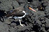 Huitrier sur la lave Tagus Cove Isabela Galapagos