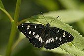 Butterfly on a leaf Dordogne France
