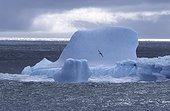 Albatros fuligineux à dos clair volant devant un iceberg