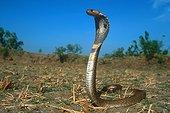 Cobra indien dressé Tamil Nadu