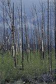 """Régénération d'une forêt après un incendie Canada ; le long de la """"dempster highway"""", route reliant la ville de Dawson city à l'arctique"""