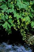 Pied de lion en fleur au bord de l'eau Espagne ; Utilisée en médecine populaire comme plante médicinale