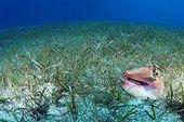 Coquillage au milieu d'un herbier sous-marin Belize