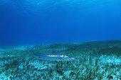 Barracuda chassant au milieu d'un Herbier sous-marin Belize