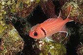 Isopode de cardinal parasitant un Marignon mombin Belize ; L'Isopode de cardinal parasite le Marignon mombin.