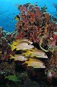 Vivaneau dentchien nageant en bac Belize