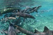 Banc de Requins nourrices nageant près d'un bateau Belize