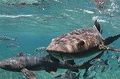Banc de Requins nourrices nageant en surface Belize