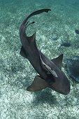 Requin nourrice nageant avec un Rémora Belize