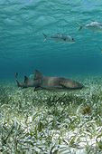 Requin nourrice nageant près d'un herbier sous-marin Belize
