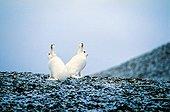 Couple de Lièvres arctiques lors des premières neiges
