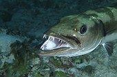 Tête de Barracuda nageant gueule ouverte Belize