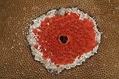 Clione perforante rouge Belize