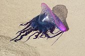Portuguese Man-of-War dead on the beach sand Belize